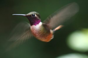 Humming bird from Costa Rica