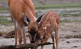 Deer: Beautiful, destructive and driving evolutionary change