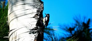 The fight to keep a rare woodpecker in Canada