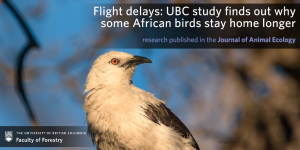 Flight delays: UBC study finds out why some African birds stay home longer